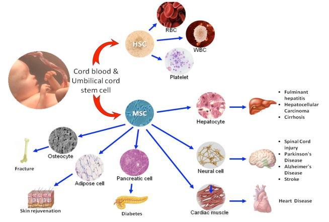 Some of the best features of cord blood stem cells